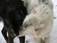 Black and white wolves                                                                                                                                                                                 More