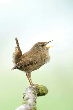 Winterkoninkje Cute Birds, Pretty Birds, Small Birds, Little Birds, Colorful Birds, Beautiful Birds, Animals Beautiful, Exotic Birds, Wild Creatures