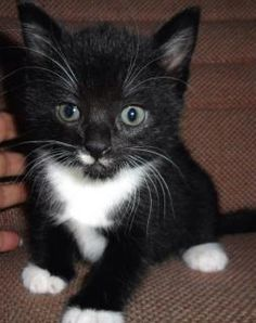 Hokie: beautiful female kitten about 5 weeks old - ready to go to new home soon.