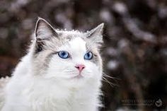 Ragdoll Cat. So cutest and adorable. Follow and visit my website for funny fact.