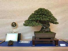 1568 Best Bonsai Show Images In 2019 Bonsai Garden Bonsai Plants