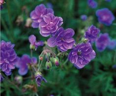 2 Géraniums vivaces à fleurs doubles bleues // l'été, arrosez régulièrement + parfois engrais. => Supprimer fleurs fanées // En fin de floraison, couper la plante au ras du sol pr favoriser la prochaine floraison // en fin d'automne, bêchez doucement la terre entre vos plantations. Désherber mauvaises herbes //Supprimer les fleurs fanées (au - les fructifications pr contrôler leur propagation) // fin d'automne, rabattre au ras du sol dès que le feuillage diminue.