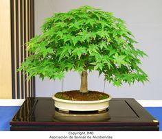bonsai-arce-palmatum-manuel-marcos.JPG (800×689)