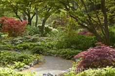 Temperate climate woodland perennials, shrubs and ferns in spring, growing under the cover of Japanese maples (Acer palmatum). These finely foliaged deciduous trees allow in plenty of light and provide an annual mulching of fallen leaves — ideal conditions for woodland plants.