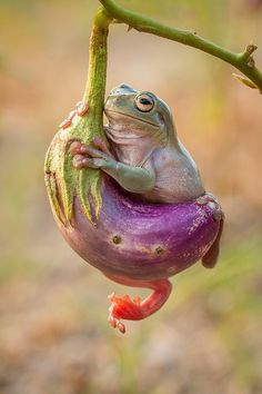 ~~frog with terong by Hendy Mp~~WHITE'S TREE FROG!