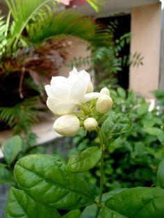 Flowers in the Sanghata Sugar Flowers, White Flowers, Beautiful Flowers, Gardenias, Jasmine Plant, Blossom Garden, Most Beautiful Gardens, Types Of Flowers, Flowers Nature