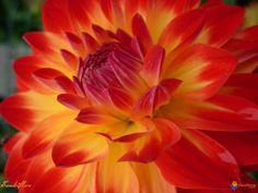 Flower I like: red-yellow bi color dahlia bouquet, centerpiece, boutonniere