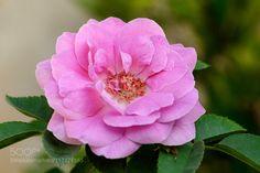 Rose by srravi. @go4fotos