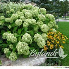 Annabelle Hydrangea - Hydrangea arborescens 'Annabelle'   Bylands Nurseries Ltd.