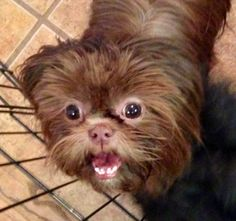 Love Coco's smile! She will be having AKC Liver (Chocolate) Shih Tzu puppies Jan 1st 2015!