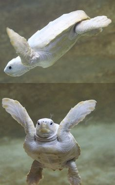 Albino loggerhead turtle at Marineland in Antibes in the south of France