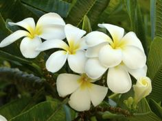 White Pikake Blossoms - the ones they make Lei's with. A symbol of Union! Hawaii