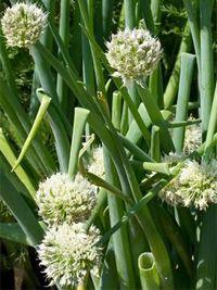 Winter garlic FREDDY seeds 2 g perennial early variety fresh seeds best before 2018 Perennials, Garlic, Seeds, Fresh, Vegetables, Winter, Handmade Gifts, Plants, Products