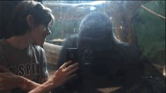 He looks at the photos with intense interest.   This Gorilla And This Boy Going Through Phone Pics Together Look Like The Best Of Friends
