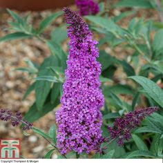 Buddleja 'Buzz® Magenta' plants from Thompson & Morgan - experts in the garden since 1855 Butterfly Bush, Butterfly Drawing, White Flower Farm, Patio Plants, Small Trees, Small Gardens, Shrubs, Magenta, Perennials
