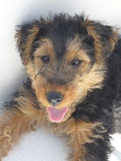 Welsh terrier puppy...this will seriously be the next type of dog I adopt...the sweetest most loving dog ever