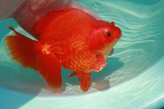 Large red ryukin goldfish. Aquarium Ideas, Aquarium Fish, Ryukin Goldfish, Persian Cats, Baby Animals Pictures, Rain Garden, Beautiful Fish, Freshwater Fish, Carp