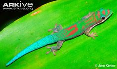 """Phelsuma roesleri, Endagered, endemic to Madagascar. Very little information is available on this gecko, but I'd label it as """"Critically Endangered"""" due to limitation in range and increased pressure from human population."""