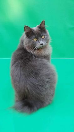 Raphael #kurilianbobtail Bobtail Cat, Cattery, Cats, Animals, Gatos, Animales, Animaux, Animal, Cat