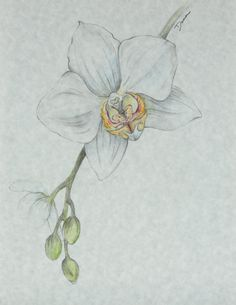 Orchid Flower Drawing - Floral illustration