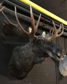 Jachttrofee van een Scandinavische eland. - Opgezette dierenkop, Opgezette kop - Taxidermy - De Jachtkamer