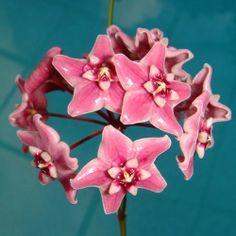 Hoya subcalva Cutting IML 0484 [0484x] - $16.00 : Buy Hoya Plants Online in Many Species from SRQ Hoyas Today!