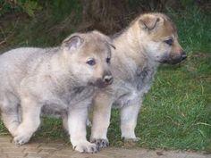 Czechoslovakian Wolfdog - Dog-site