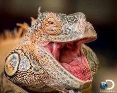 Male red iguana with mouth wide open - stock photo Reptiles, Creature Design, Animals And Pets, Royalty Free Stock Photos, Creatures, Cats, Pictures, Photography, Image