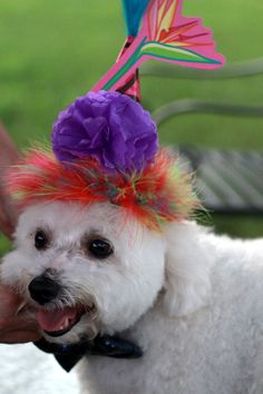 d5e1c0fd28ac0c Bichon Frise at a doggie birthday party.