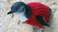 Phillip Islandin luonnonpuistossa villapaidan ylleen saanut pingviini.109-vuotiias mies on neulonut villapaitoja pinviinielle jotka ovat joutuneet öljy-onnetomuuteen. Hyvää hiihtolomaa!