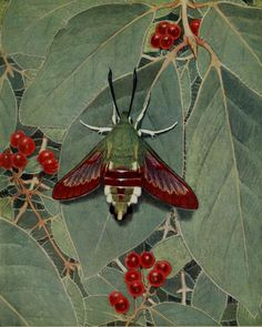 'Le Sphinx-gaze (Bee Hawk-moth) with Fly Honeysuckle. Plate from 'Les Papillons Dans La Nature' by Paul A. Robert.  Published 1934 by Éditions Delachaux and Niestlé. Heaveninawildflower