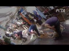 Sheep Punched, Stomped On, Cut for Wool in Australia