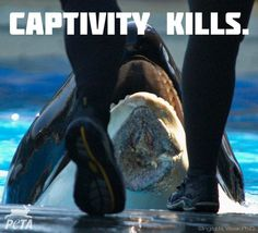 FACT: Orcas in the wild can live up to 60 - 90 years. The median age of orcas in captivity (AKA SeaWorld) is ONLY 9. http://peta.vg/1fs