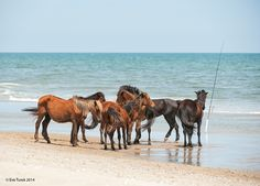 Catching Anything? by Eve Turek. The Corolla wild horses of Currituck's Outer Banks, NC.
