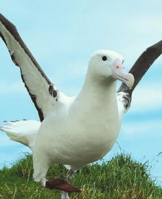 Royal Albatross in Dunedin, New Zealand
