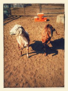 Mini Nubians are happy here at Country Home Farm  www.countryhomefarm.com