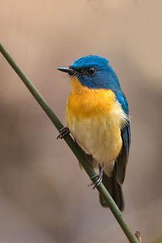 Tickell's Blue Flycatcher (Cyornis tickelliae) by Sumeet Moghe