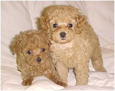 Come snuggle with me! I want another Red Toy Poodle. We had GiGi and Phoebe! Miss them!