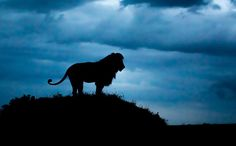 A lone male lion takes some time off and watches his pride from a kopje as night begins to fall in the Serengeti. Photo credits: Johan van der Watt
