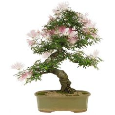 Bonsai Caliandra Rosa 25 anos - Ideal Bonsai