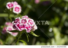 flowers, flower, pink, white, nature, focus, drop @pixtastock