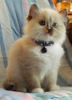 Love Ragdolls Megan Seal Tortie Mitted Female Ragdoll - Ragdoll Kitten for Sale