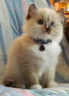 Love Ragdolls Megan Seal Tortie Mitted Female Ragdoll - Ragdoll Kitten for Sale