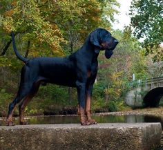 Looks like my dog Wyatt!   He is a male Black and Tan Coonhound! I reccomend this breed for any person looking for a dog! Great breed!
