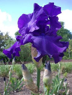 Purple iris in Sir Harold Hillier Gardens, England