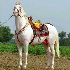 Horses Fond Of Bhangra Music And Dance Marwari Horses, Dressage Horses, Horse Tack, Baby Animals, Cute Animals, Beautiful Arabian Horses, Pretty Horses, White Horses, Horse Saddles