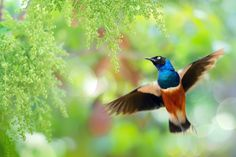 """~ Take Off The Moment ~ - ~ Take Off The Moment   起飛的瞬間~  鳥類名稱 Bird Name:栗頭栗椋鳥 英名English Name: Superb starling. 學名 Scientific Name:Lamprotornis superbus. 科名 Family:八哥科 (Moment). 圖像大小 Image Size : 6000 x 4000 pixel My Flickr Page:  <a href=""""http://www.flickr.com/photos/fuyi/"""">My Flickr Page</a> My Facebook page : <a href=""""https://www.facebook.com/fuyi.chen.9"""">My Facebook page</a>"""