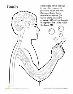 Worksheets: Human Anatomy: Sense of Touch.  There are a ton more on this website.