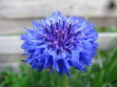 National-flower-of-Germany-1024x768.jpg (1024×768)
