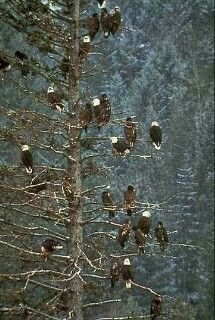 That's a lot of bald eagles!!!